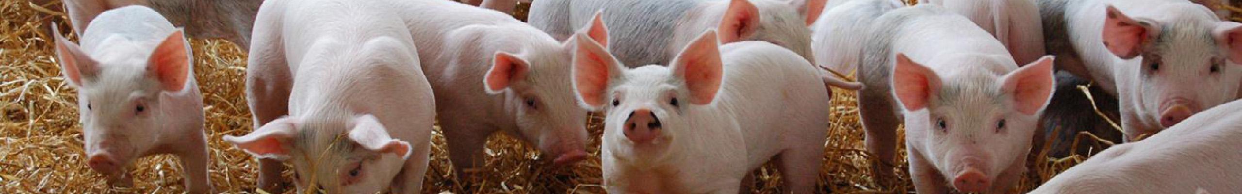 Roadhogs Recruitment Pig Jobs