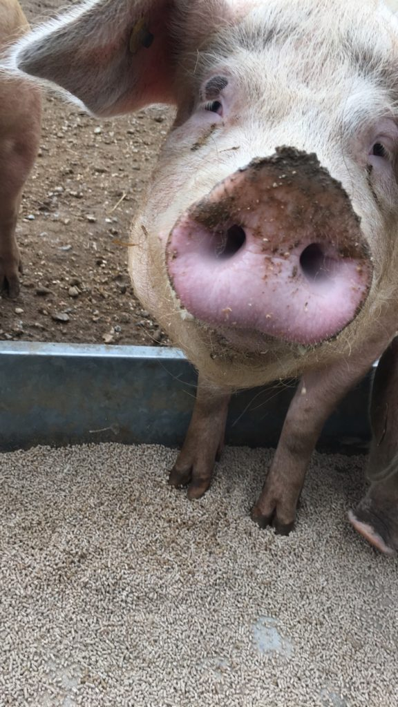 Close up of a cute pig snout.