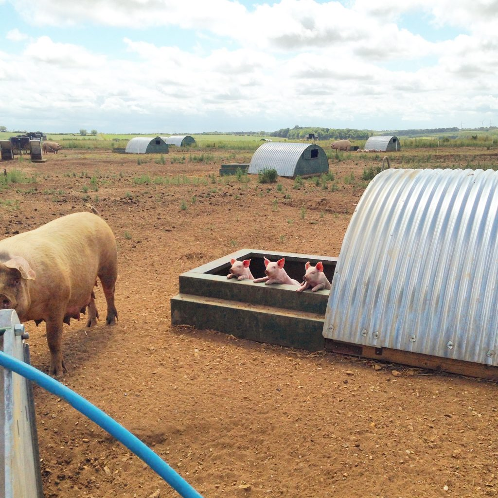 Three little pigs in an outdoor unit.