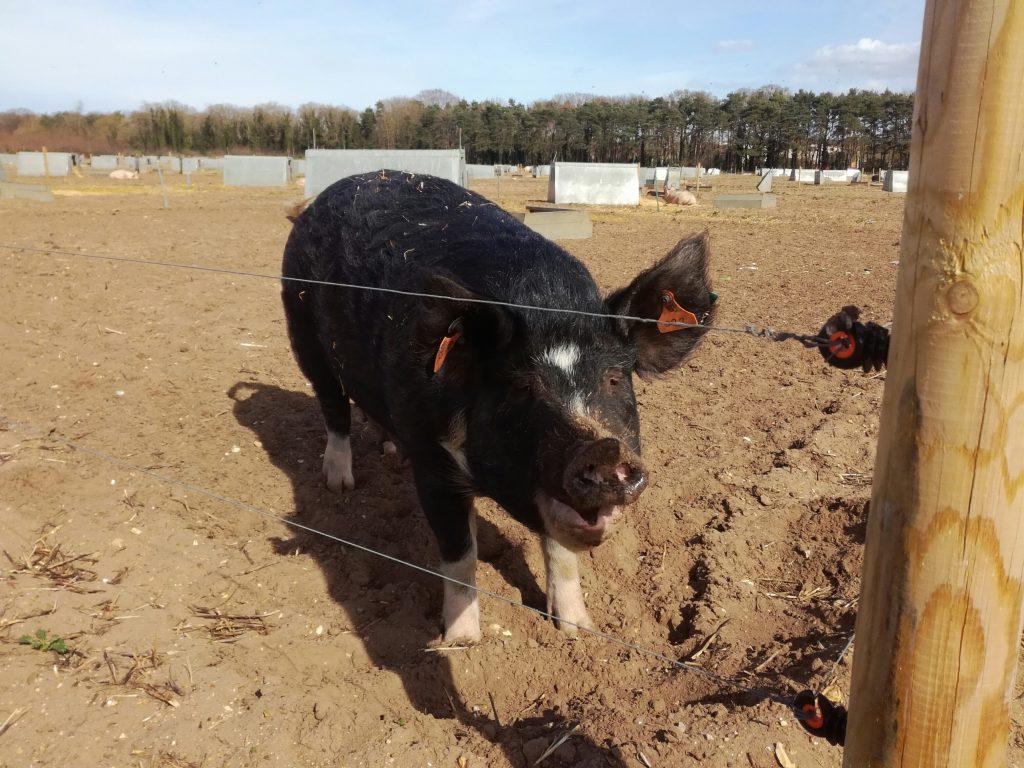 Pig Specialist