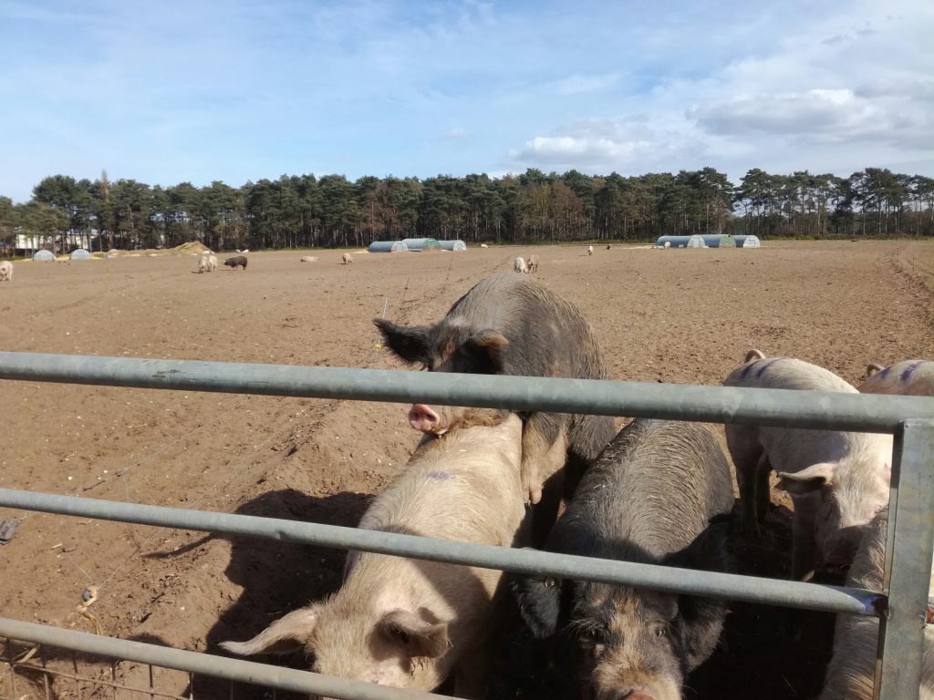 UK pig stock person jobs