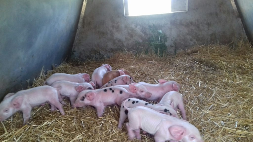 Piglets - UK pig stock person jobs